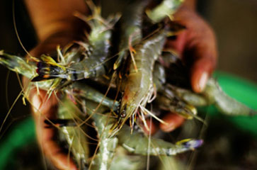 The Shrimp in Your Scampi Are Still Being Caught By Burmese Slaves